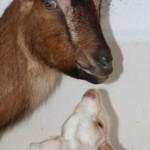 Ziegenmama, Ziegenbaby