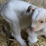 Ziegenbaby