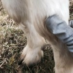 Massage für den Ziegenbock